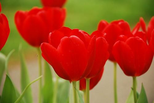 raudonos tulpes olandija