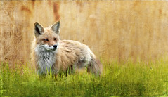 foxes-40d-110508-12367-1400x768-SH-oldcanvas5 photo by rachelbilodeau