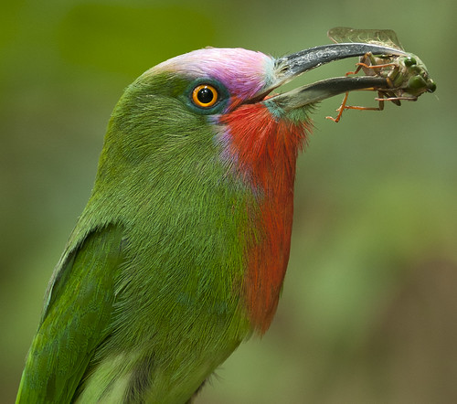 จาบคาเคราแดง Red-bearded Bee-eater (male) - Nyctyornis amictus with cicada Cryptotympana aquila (female) photo by Michael Gillam