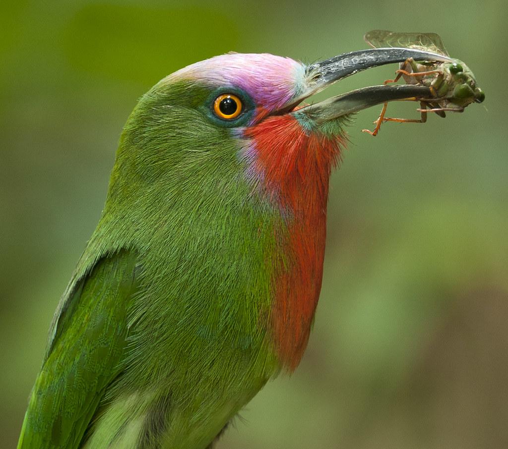 จาบคาเคราแดง Red-bearded Bee-eater (male) - Nyctyornis amictus with cicada Cryptotympana aquila (female) photo by Michael Gillam