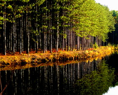 Pine Trees in the Water photo by blamstur