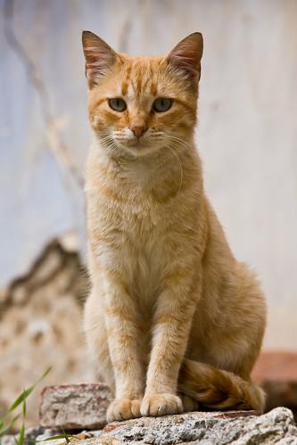 scottish shorthair cat for sale