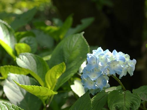 blue ajisai(hydrangea) 1