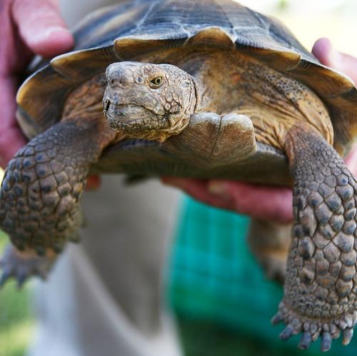 Day 172...2008...Desert Tortoise