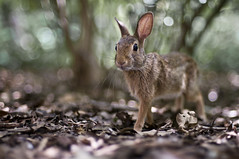 Free Range Bunny Rabbit photo by UberJ