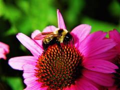 NK Yard Flower Bee 3 c photo by monteverde2000