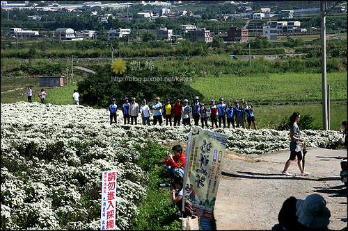 2008銅鑼杭菊01 (17)