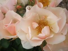Rose photo by Inglewood Mum (Chris)