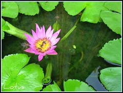 """ LOVE "" LOTUSES always :-)  ^__^ photo by Thai Jasmine (Smile..smile...Smile..)"