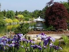 Japanese iris and lantern