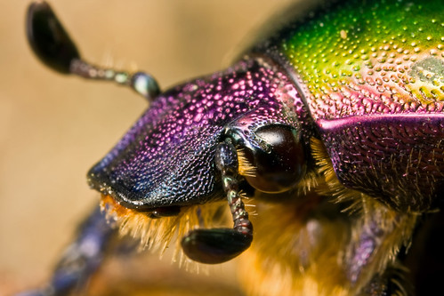 junebug  insect
