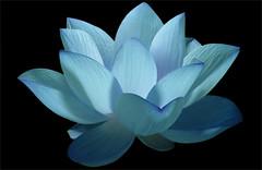Flower / Blue flower / Lotus Flower / water / lily / water lily /  / Blue / nature / - IMG_0606 - Nelumbo Nucifera - , ハスの花, 莲花, گل لوتوس, Fleur de Lotus, Lotosblume, कुंद, 연꽃, photo by Bahman Farzad