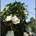 Moonflower - לפופית לבנה