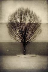 snow tree photo by wizmo