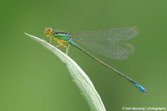 Rainbow Bluet (Enallagma antennatum)