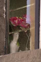 rosa de balcon