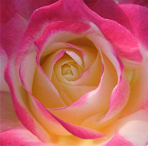 peace rose gif