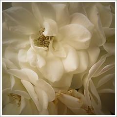 White roses photo by Megara Liancourt