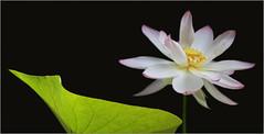 Lotus Flower - IMG_9636 photo by Bahman Farzad