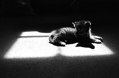 Study of Kitten By Windowlight