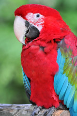 Red and colorful parrot photo by Tambako the Jaguar