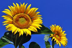 girasole - sunflower photo by luporosso