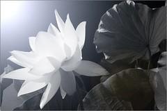 Lotus Flower IMG_5400-bw photo by Bahman Farzad