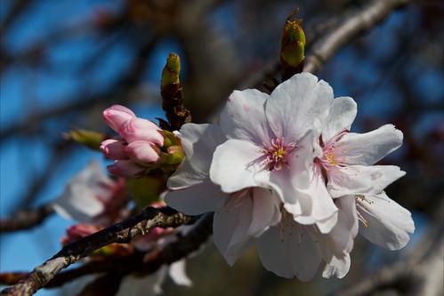 Sakura Matsuri Trip