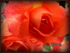 rote Rose im September - red rose in september photo by NPPhotographie