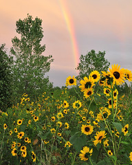 Rainbow Sunflowers photo by NaturalLight