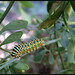 Old World Swallowtail - זנב סנונית