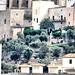 Ibiza - Olivares
