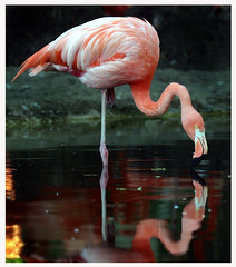 Flamingo photo by derhur