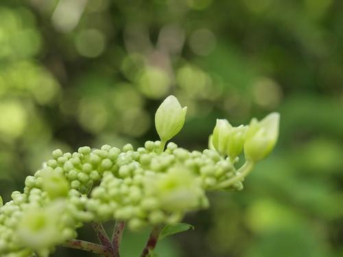 unopened ajisai(hydrangea)