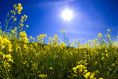 It's a Canola Summer photo by ryian
