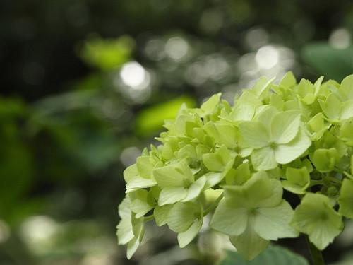 green ajisai(hydrangea)