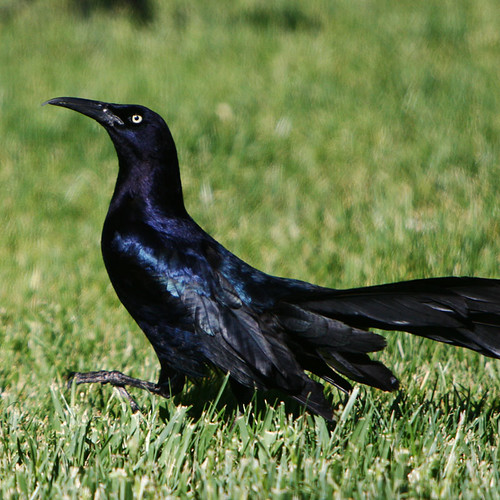 Day 141...2008...Male Great-Tailed Grackle