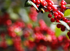 Berry Bright Bokeh photo by TPorter2006