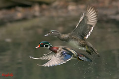 (N.American Species # 184) Wood Ducks pair photo by tinyfishy