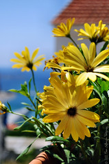 Yellow Daisy flowers blooming in the summer sun! photo by Manos Eleftheroglou (Photography)