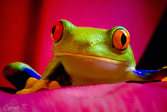Kermit photo by Cyrus khamak