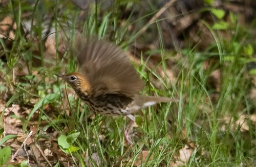 Flying Wood Thrush