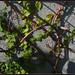 Ficus pumila and Virginia creeper - פיקוס פומילה וגפנית