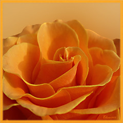 Rose photo by Elisa1963 ♥ nature art peace