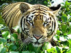 Sumatran Tiger ; bathing photo by tropicaLiving - Jessy Eykendorp