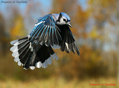 4 Seasons Blue Jay - Autumn photo by tinyfishy (Finally Home Again)