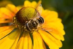 Hoverfly on helenium flower * Журчалка на цветке гелениума photo by v.plessky