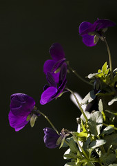 Horned Violet photo by annemirdl
