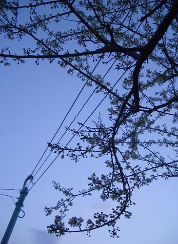 Plum blossom スモモ。