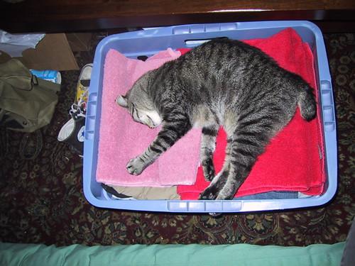 Tiger likes laundry